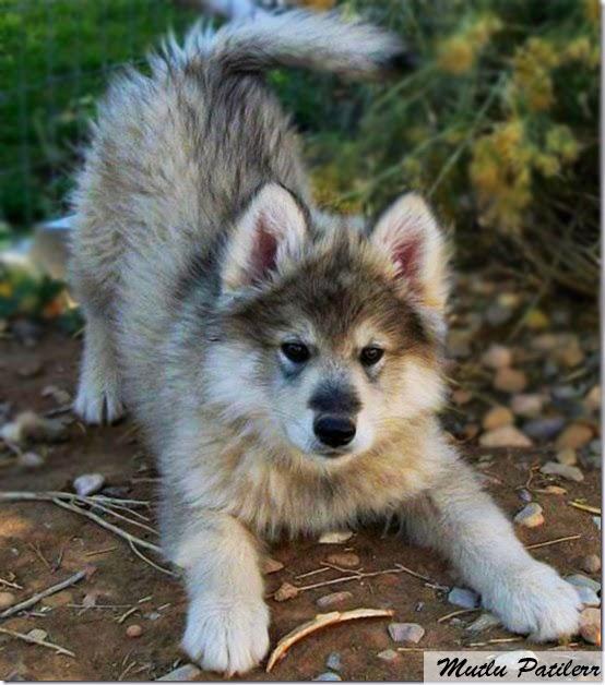 Köpek Irkları: Husky - Avcılar ve Bekçi