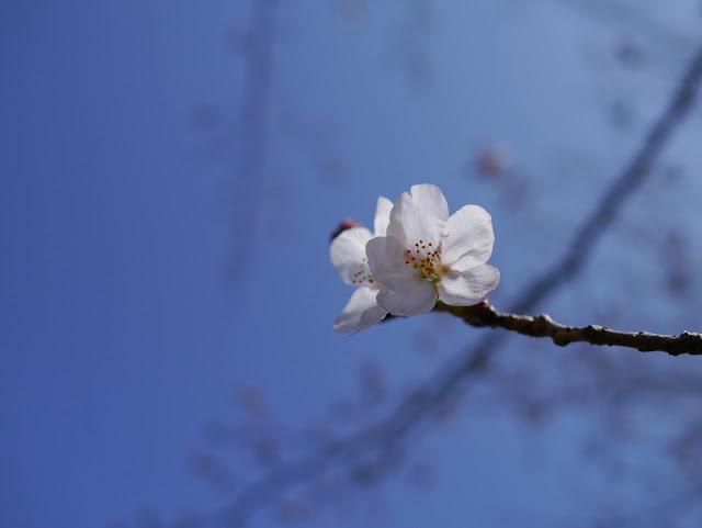 桜も咲いたので焼肉やるか。