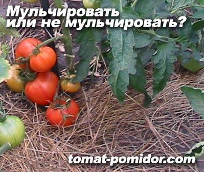 как вырастить помидоры: подкормка