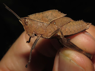 Acrididae, Romaleinae