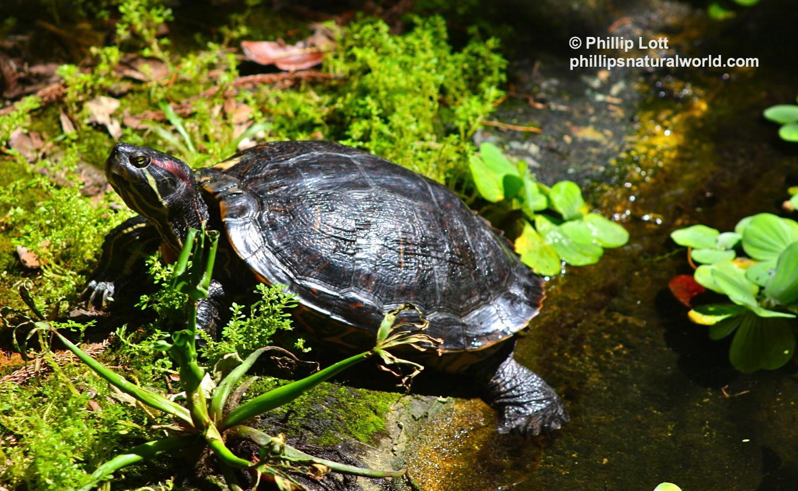 Redneck, my favorite Red-eared Slider Turtle ( Trachemys scripta ...