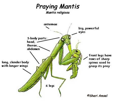 Praying Mantis Defense Coloring Page