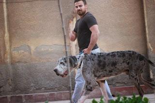 صورة كلب دنواه بقري ضخم