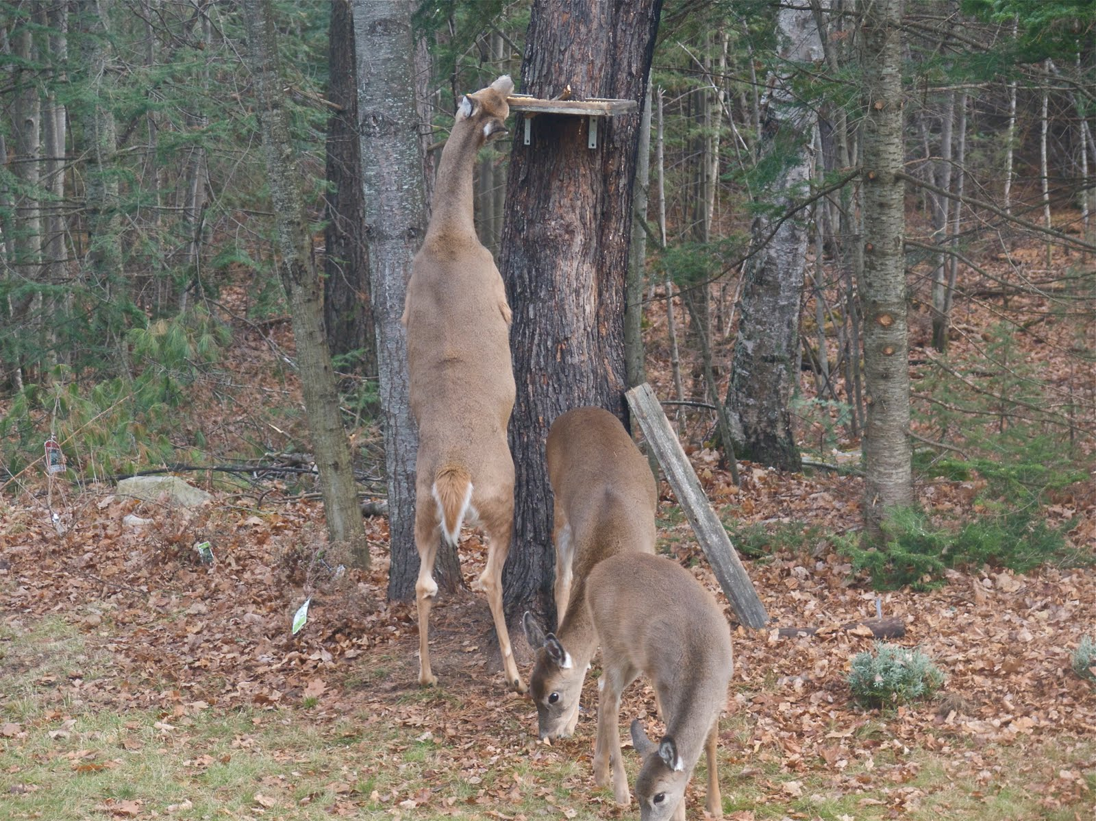 Build A Squirrel Proof Deer Feeder