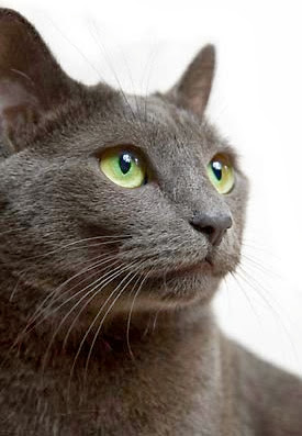Health Problems in Russian Blue Cats