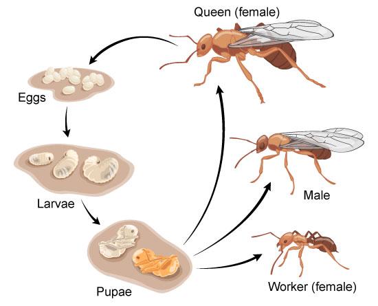 Daur hidup unik dunia serangga daur hidup semut klik untuk memperbesar gambar ccuart Gallery