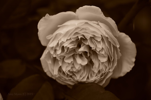 rose, amy myers photography