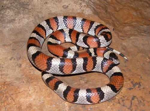 russelco Amazing Colorful Snakes   Most Beautiful Venomous Snakes of the World