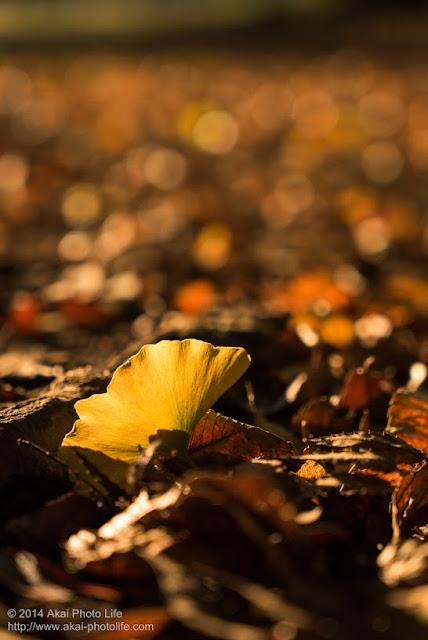 逆光で銀杏の落ち葉を撮影したら幻想的な写真が撮れました