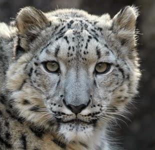curiosidades-fatos-leopardos-das-neves-1