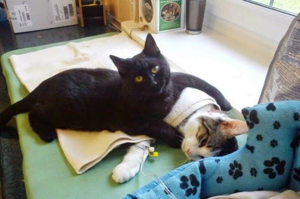 kucing jadi jururawat