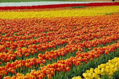 hoa tulip 4