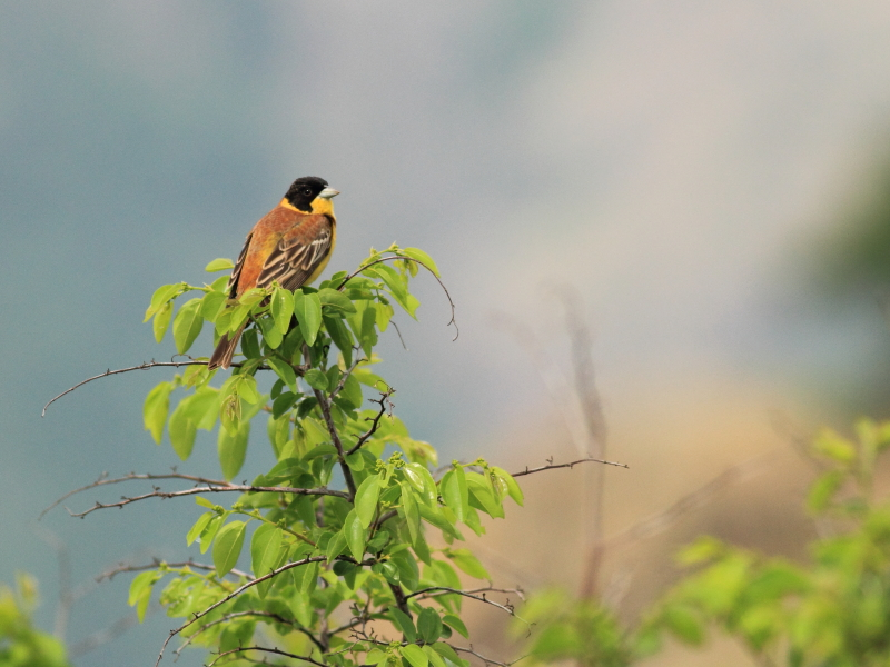 Black-headed Bunting photography