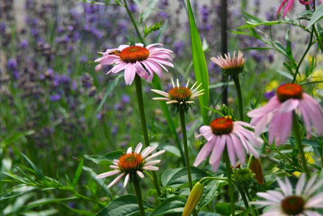 Lavender and purple coneflower (Echinacea purpurea) in the Driveway Garden for July