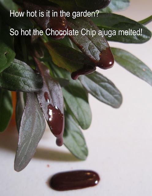 Chocolate Chip ajuga melting