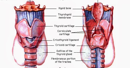 Asuhan Keperawatan Lengkap Anatomi Trakea