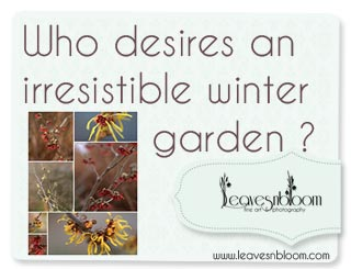 Who desires an irresistible winter garden in February with Hamamelis ?