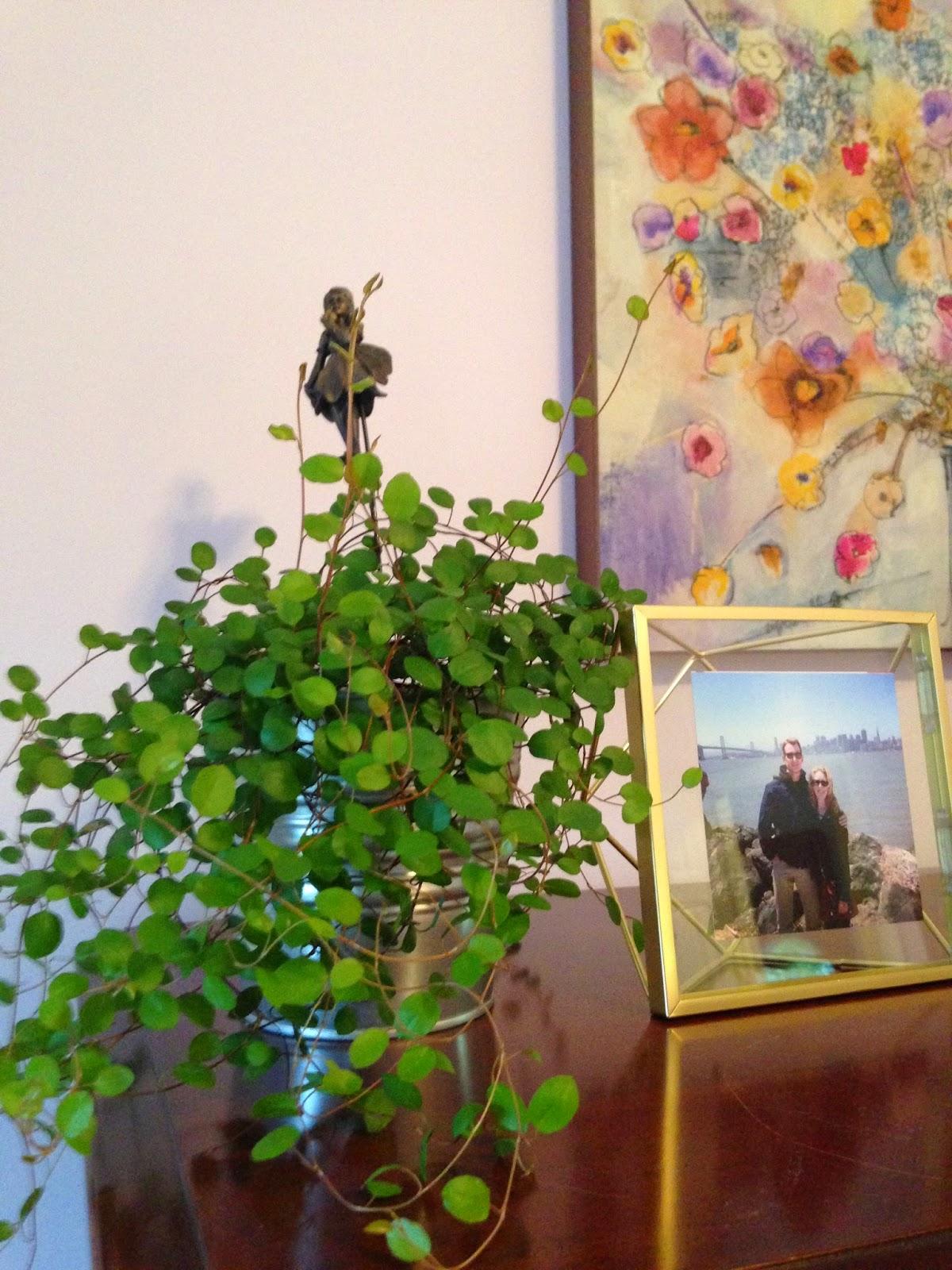 angel ivy
