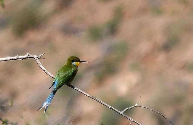 Swallow-tailed Bee-eater on a twig
