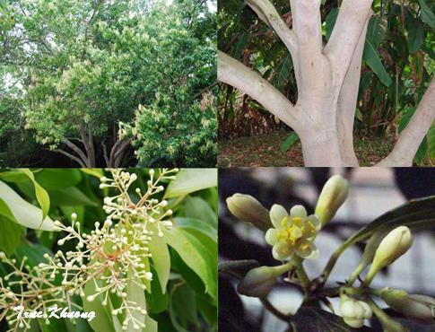 VƯỜN CÂY HOA ĐV I - Page 3 Cinnamomum+zeylanicum+1234+than+la+hoa