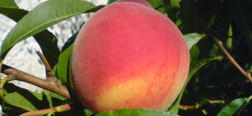 Parker County Peach Festival to Take Place in Historic Downtown Weatherford