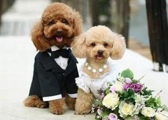 Sarcastic Sarcasms: Fancy Dog Weddings (20 Pictures) - You may now ...