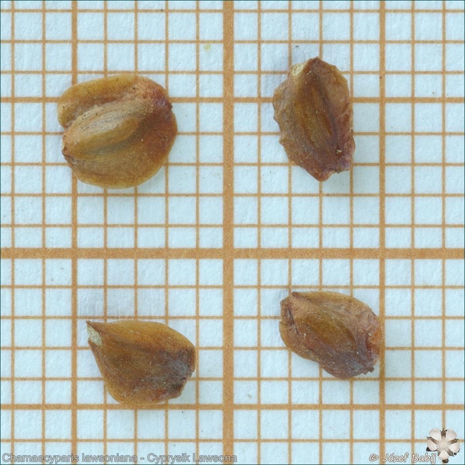 Chamaecyparis lawsoniana seeds - Cyprysik Lawsona nasiona