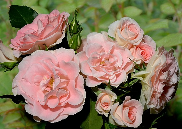 Jet Set rose сорт розы фото
