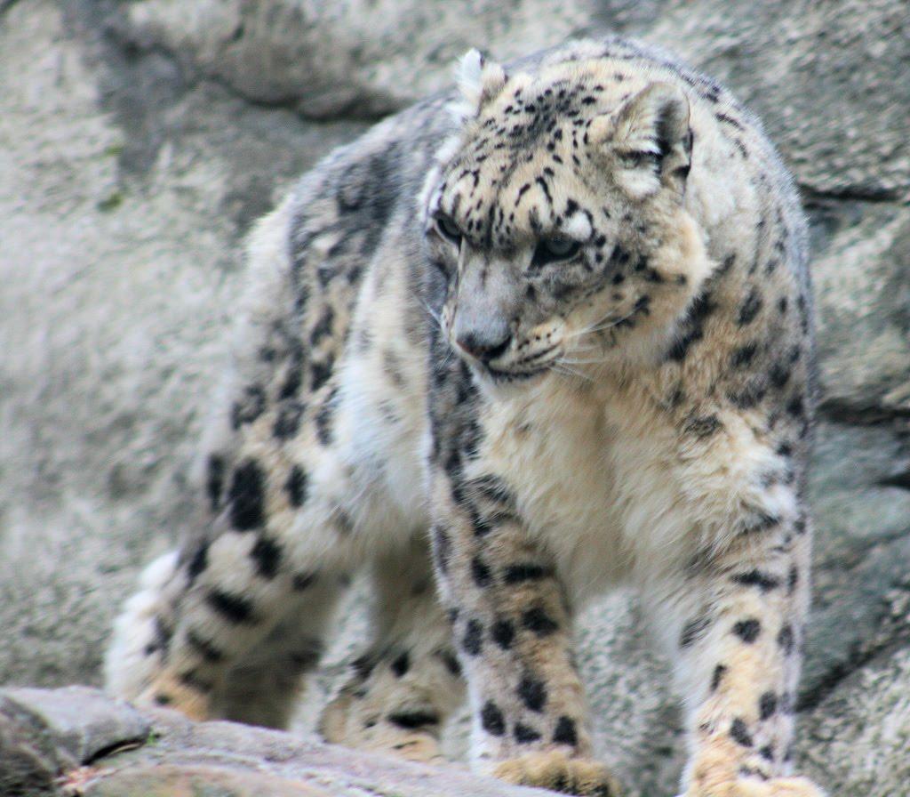 Snow Leopard   Fun Ani...
