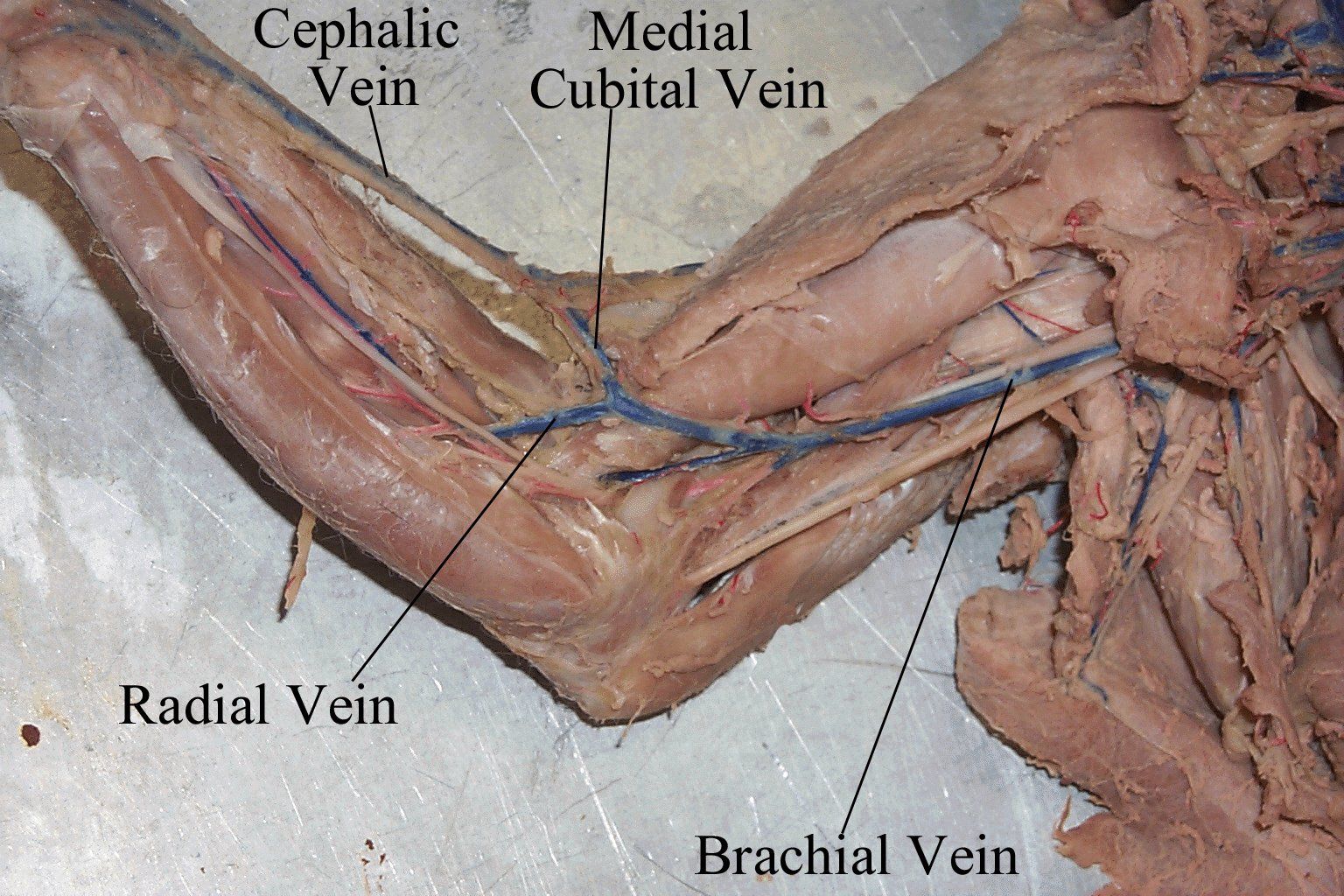 Cat dissection study tools circulatory system