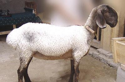 新疆刀郎羊