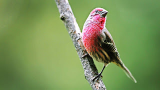 House Finch Bird