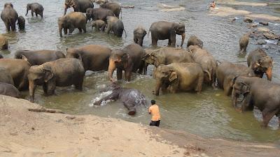 Пиневалла, слоны, купание, Шри-Ланка