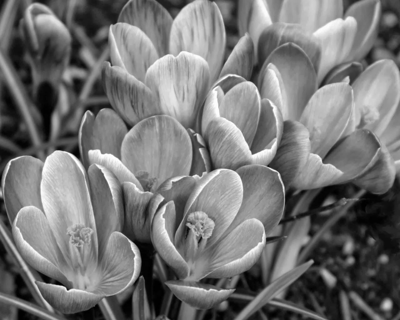 Красивые чёрно-белые фотографии ...: www.foksit.ru/2013/10/Chjorno-belye-fotografii-cvetov.html