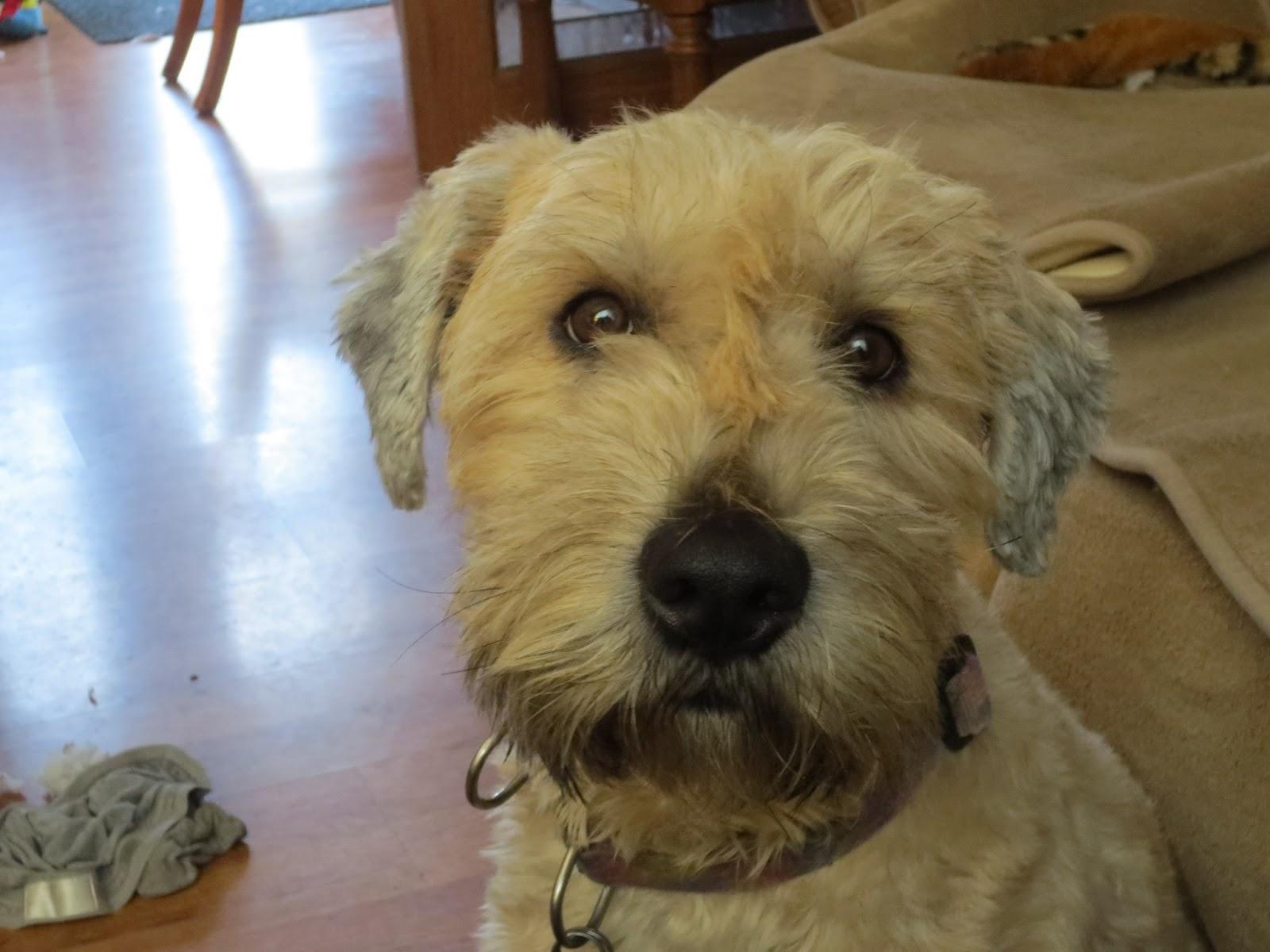 Wheaten Terrier Haircut Styles