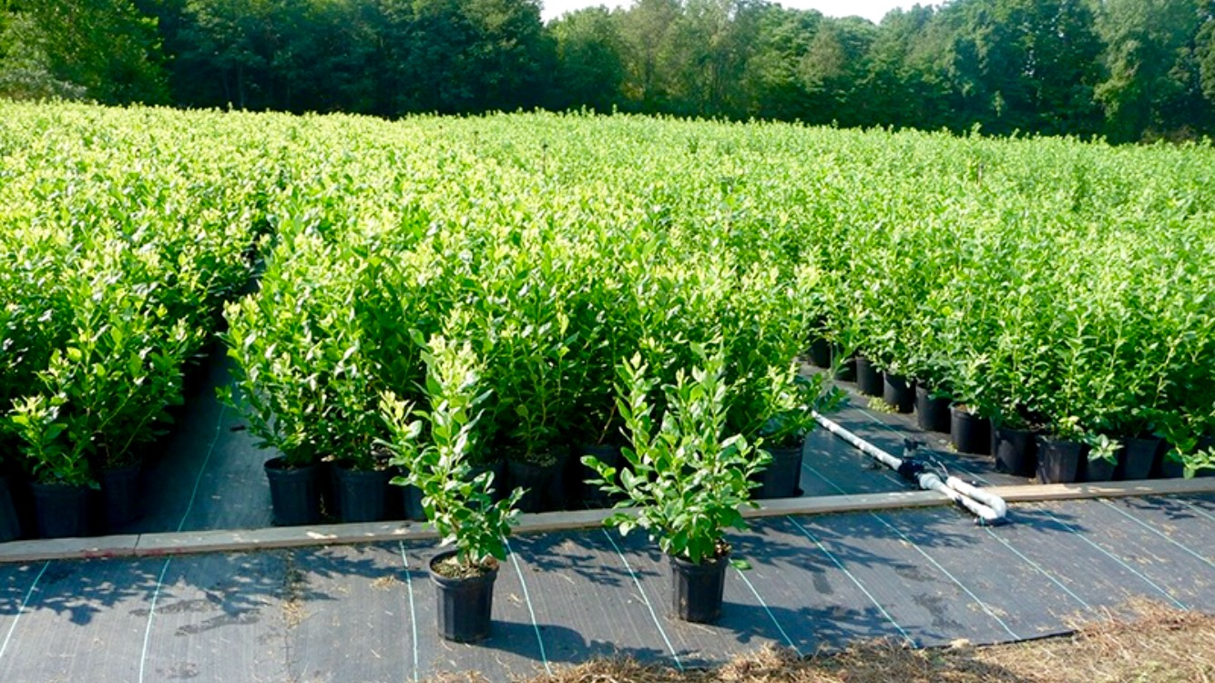 Large Blueberry Plants DiMeo Farms Blueberry Bushes Nursery