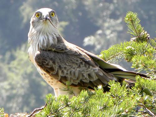 Resultado de imagen para Águila Culebrera