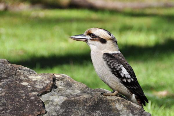kookaburra hornsby park