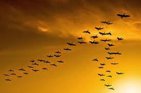 """Mengapa Kawanan Burung Terbang Dengan Formasi Huruf """"V"""""""