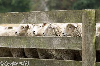 Sheep along gate