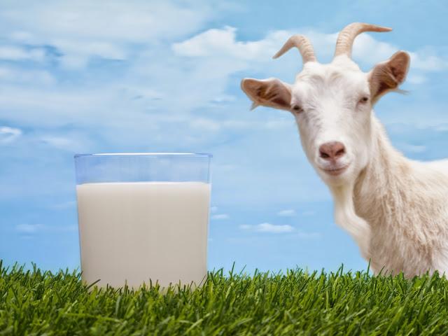 Manfaat susu kambing-susu kambing bagi kesehatan