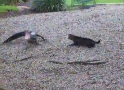 Gato atira-se a crocodilo e mostra quem manda