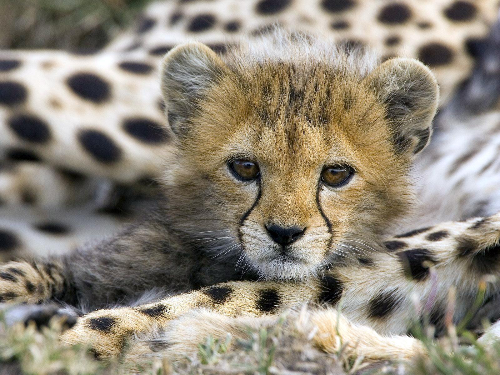 Cute+Cheetah_02.jpg