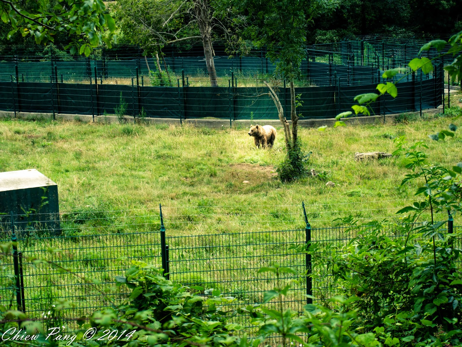 Asturian bear, Proaza, Asturias