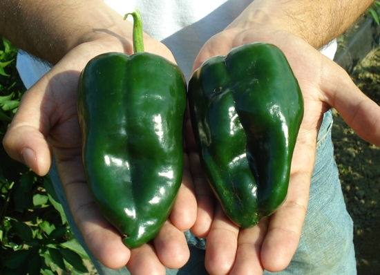 These are Poblano peppers. When dried they are called ancho peppers.