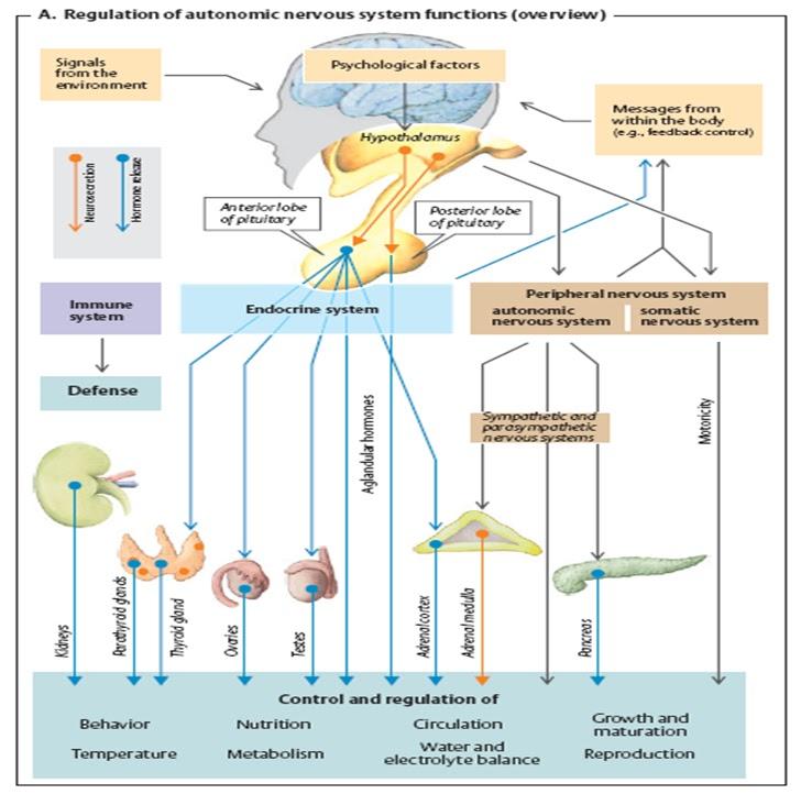 mekanisme kerja hormon steroid dan nonsteroid