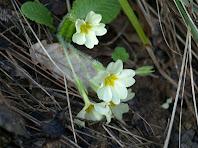 Detall d'un exemplar de prímula (Primula vulgaris)