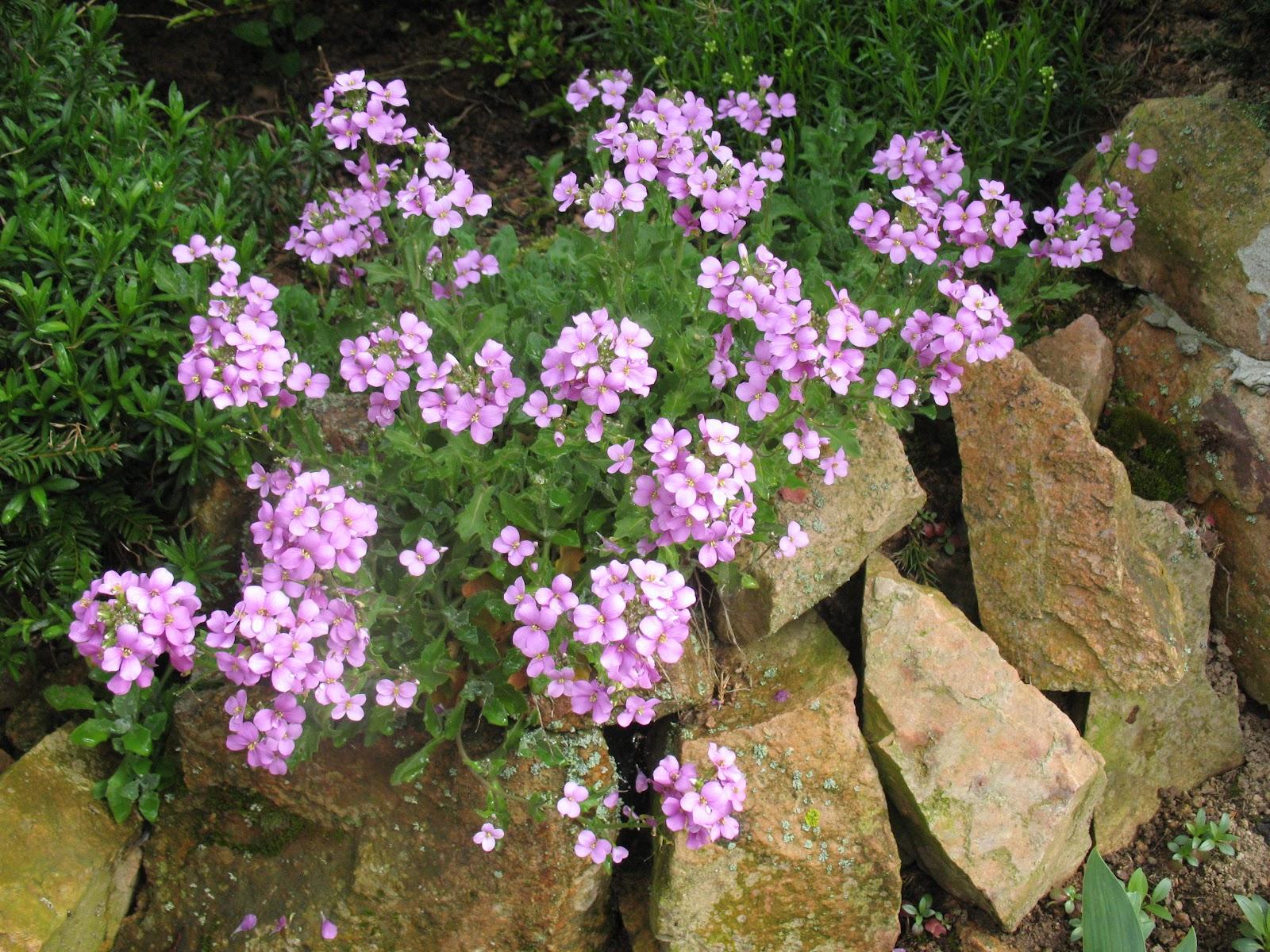 Roses du jardin ch neland petites fleurs du moment for Fleurs du jardin vivaces