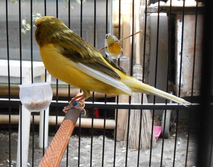abang kicau mania harga jual burung kenari update terbaru