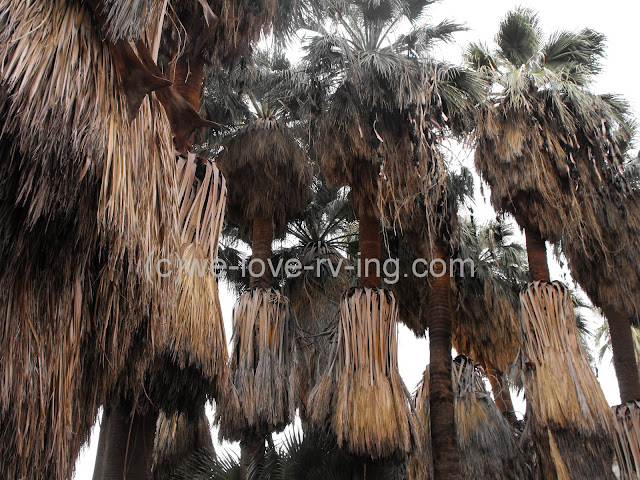 The tall trees of the oasis
